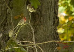 House finch (Tpai1) Tags: red bird nature canon 100400mm songbirds canon7d