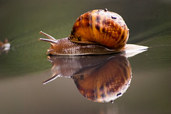 Reflection (Linxie) Tags: africa garden town south snail cape common nkon d80