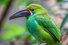 Banded (Light Echoes) Tags: summer bird philadelphia zoo nikon september philadelphiazoo d90 toucanet 2013