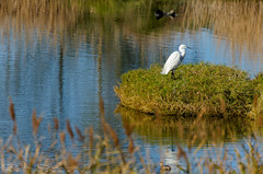 My sweet sof (Jokermanssx) Tags: sardegna pond egret arborea oristano stagno garzetta sardinya senaarrubia riccardodeiana