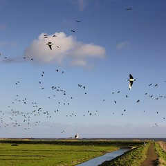 Thousands of geese flying around the Horse of Marken (Bn) Tags: sea summer dykes lighthouse holland green heritage history water netherlands dutch grass birds landscape island boat geese site topf50 day cows flat cloudy tourist goose canals unesco national level pastures below summertime recreation former dijk peninsula topf100 dike marken tabouret authentic barnaclegoose ijsselmeer weiland waterland koe koeien noord nominated vformation polders vpower brandgans 100faves 50faves brandganzen rijksmonument gouwzee paardvanmarken oosterpad vuurwachter