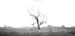 (tgkpgmbr) Tags: bw panorama tree canon 50mm malaysia photomerge f18 tgif terengganu pokok manir