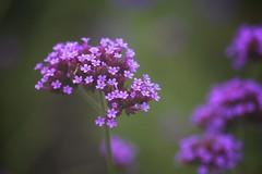 (jasohill) Tags: flowers autumn macro nature japan globe seasons purple iwate  spike hachimantai pistel  stamenfall