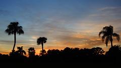 Cool November sunset (Jim Mullhaupt) Tags: pink sunset red wallpaper vacation sky orange sun color tree weather silhouette yellow clouds palms landscape backyard nikon flickr florida coolpix oaks bradenton gulfcoast p510 mullhaupt cloudsstormssunsetssunrises jimmullhaupt