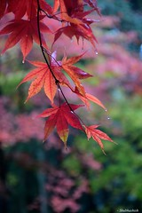 Rain Drops.. (Shubhashish Chakrabarty) Tags: autumn red japan maple bokeh  nikko