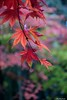 Rain Drops.. (Shubhashish Chakrabarty) Tags: autumn red japan maple bokeh 日本 nikko 秋 日光 もみじ 赤い