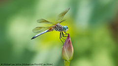 Male Blue Dasher on Lotus (P7160846) (Michael.Lee.Pics.NYC) Tags: newyork flower male insect lotus blossom dragonfly bokeh olympus perch nybg mkii markii newyorkbotanicalgarden bluedasher em5 lumix100300mm