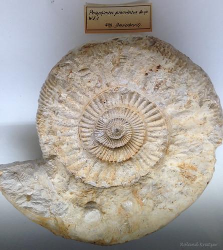 Perisphinctes planulatus Qu. sp.