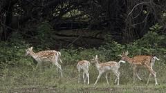 Deer trail (Pejasar) Tags: deer cypressspringsranch texas mammals fourdeer woods