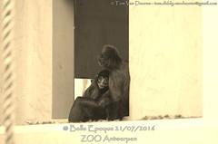 bruinkopslingeraap - Ateles fusciceps - Black-headed spider monkey (MrTDiddy) Tags: bruinkopslingeraap ateles fusciceps blackheaded spider monkey bruinkop bruin kop slingeraap slinger aap black brown head headed zoogdier mammal zooantwerpen zoo antwerpen antwerp