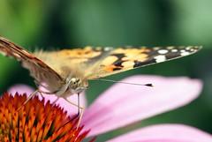 Painted Lady (sramses177) Tags: paintedlady cosmopolitan vanessacardui distelfalter schmetterling butterfly papillon macro 60mm omd em10 makro echinacea sonnenhut flower garden outdoor nature insect