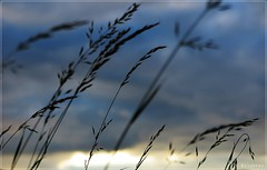 Total indecision (nathaliedunaigre) Tags: nature campagne country coucherdesoleil sunset herbes gramines silhouettes contrejour heurebleue bluehour blue bleu ciel sky dtails details macro proxi