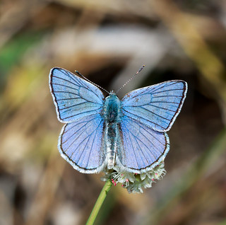 Blue Copper (Lycaena heteronea)