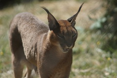 073_Great Cats Park_Caracal (steveAK) Tags: greatcatsworldpark caracal