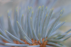 Blue Spruce (soupie1441) Tags: london ontario canada nikon d7200 macro pale pastel blue spruce branch abstract nikkor 1801400 mm tree coniferous needles