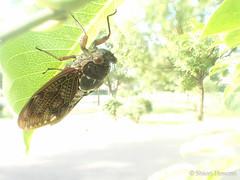 Graptopsaltria nigrofuscata (Shiori Hosomi) Tags: 2016 august japan tokyo 23   insects entomon      auchenorrhyncha homoptera cicadidae        graptopsaltria