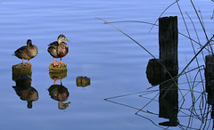 BANYOLES (Joan Biarns) Tags: banyoles llac estany lago reflexes reflejos patos necs panasonicfz1000