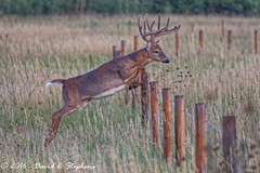 Big Buck Jumps Fence (dcstep) Tags: buck bigbuck whitetailbuck 14point antlers velvet fence jumpingfence aurora colorado unitedstates us y6a3309dxo cherrycreekstatepark allrightsreserved copyright2016davidcstephens dxoopticspro111 nature urban urbannature sanctuary handheld