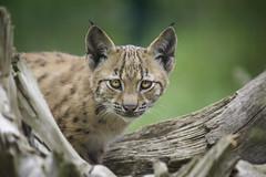 small lynx II (Heidi Spiegler) Tags: zoo luchs baby niedlich augen eyes lynx