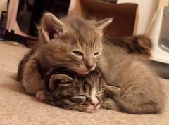 Kitten sleep-over 2. (christianiani) Tags: awake asleep sleeping sleepy together two cats kittens kitten cute delightful delicate flickr funny furry gorgeous happy image lovely lazy photograph photography photo capture