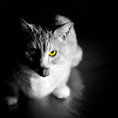 Bird-watcher. The Dark Side of the Cat. : ) (Natalia Medd) Tags: animal pet cat bw black white color splash yellow eyes bird watcher animals square