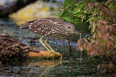 BCNH (jmishefske) Tags: greenfield night nikon nightheron 2016 juvenile pond hunting blackcrowned lagoon westallis wisconsin bird heron d7100 park milwaukee immature county august