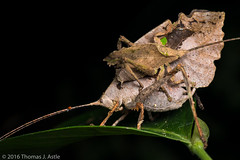 Leaf Mimic Katydid Pair (Tom's Macro and Nature Photographs) Tags: macrophotography insects katydids katydid orthoptera mimicry cryptic camouflage peru rainforest amazon mating pair