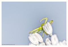 The opposite of camouflage (s1nano) Tags: nikontc200 nissinmf18 tamron90mmspmacrof25 spider crabspider arachnides bug macro green nissinmf18ringflash nikond7000 white highkey light death ambush flower