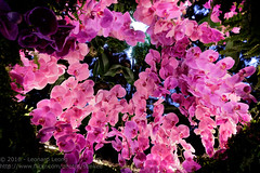 The Singapore Orchid Festival (Stinkee Beek) Tags: gardensbythebay orchids