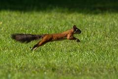 Flying Red Squirrel (iamfisheye) Tags: 2016 finland lodge martinselkonen martinselkonenwildernesslodge wilderness d7100 nikon red squirrel