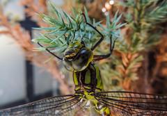Liblula (argosu) Tags: insectos nature naturaleza aire libre color macro macrofotografia