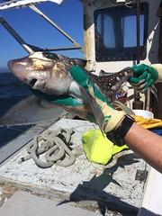 Spotted ratfish2 - LL sampling