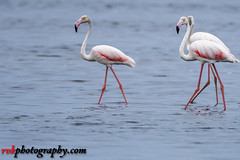Pulicat Lake Bird Sanctuary (rvk82) Tags: 2016 august2016 birdsanctuary birds india nature nikkor200500mm nikon nikond500 photography pulicat pulicatbirdsanctuary pulicatlake rvk rvkphotography raghukumarphotography southindia tamilnadu wildlife rvkphotographycom andarmadam in twop rvkonlinecom