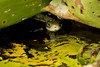 Grass-snake_4710 (Peter Warne-Epping Forest) Tags: grasssnake natrixnatrix snake serpent reptile
