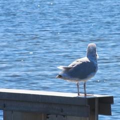 Gall at sea side (f.tyrrell717) Tags: sea side nj gall bird ocan bay