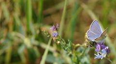 sfilata d'autunno... (andrea.zanaboni) Tags: farfalla blu butterfly colori colors macro nikon verde green