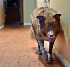 Exercise (Jo Zimny Photos) Tags: ddc1790 caninemyths exercise bordercollie shizandra dog animal hall running panting