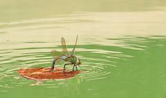 Cool Pool (Summer Revisited) (mikkelfrimerrasmussen) Tags: guldsmed vand blad afkling pl s dragonfly lake water surface tension overfladespnding pool cool