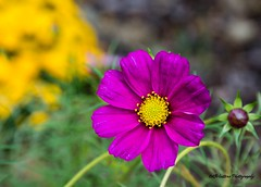Pretty in Pink (KWinters Photography) Tags: yellow magenta colors macro closeup d7200 nikkor nikon flickr nature pink flower
