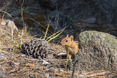 Golden-mantled Ground Squirrel (Corvus707) Tags: lassenvolcanicnationalpark lassen volcano nationalpark goparks findyourpark nps100 centennial travel adventure hike park california canon canon7dmarkii canonphotography wildlife animals outdoors yonder