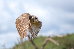Milky (PeteWPhotography) Tags: launch flying action pose wing flight bird bif owl milky