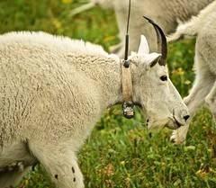Tracking Glacier Goats (tvdflickr) Tags: glaciernationalpark montana goat mountaingoat wildlife photosbytomdriggers thomasdriggersphotography photo by tom driggers photobytomdriggers copyright