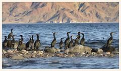 Cormorant Convention (gauchocat) Tags: bahiadelosangeles bajacalifornia seaofcortez