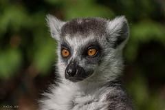 Hodenhagen, Serengetipark, Katta (joergpeterjunk) Tags: hodenhagen serengetipark outdoor tier lemur katta canoneos50d canonef100400mmf456lisusm