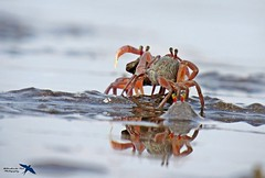 Sand bubbler crab (arabindapal) Tags: crab crabs sand sea beach water natgeo nature naturelover photography photo animal animals beauty love pink wildindia wildlifephotography wild wildlife canon light refection