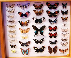 Colorful butterflies and moths --  University of Florida collections 9102 (Tangled Bank) Tags: florida museum natural history butterfly butterflies moth collection tray cabinet insect lepidoptera arthropod
