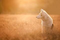 ~ Eternal Sunshine of the Spotless Mind ~ (Elisa Pirat) Tags: soleil lumire chiot puppy bokeh champs t yellow nature animal chien dog pet calme