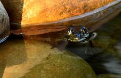 Leopard Froggie DSC_1245 (blthornburgh) Tags: thornburgh tampa florida backyard nature animal leopardfrog frog