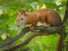 On a branch (hedera.baltica) Tags: squirrel redsquirrel eurasianredsquirrel wiewirka wiewirkapospolita sciurusvulgaris