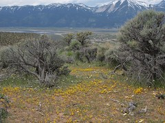 Carson Valley monkeyflower, Erythranthe carsonensis in habitat (Jim Morefield) Tags: washoevalley nevada unitedstates us phrymaceae lopseedfamily erythranthe erythranthecarsonensis wfgna flora wildflower wildflowers angiosperm dicot plant flowers flower blossom bloom carsonvalleymonkeyflower annuals annual sagebrush steppe washoecounty virginiarange jumbograde greatbasin spring landscape olympus evolt e510 olympuse510 jdm20160901 taxonomy:family=phrymaceae taxonomy:genus=erythranthe taxonomy:binomial=erythranthecarsonensis taxonomy:common=carsonvalleymonkeyflower geo:alt=1740m